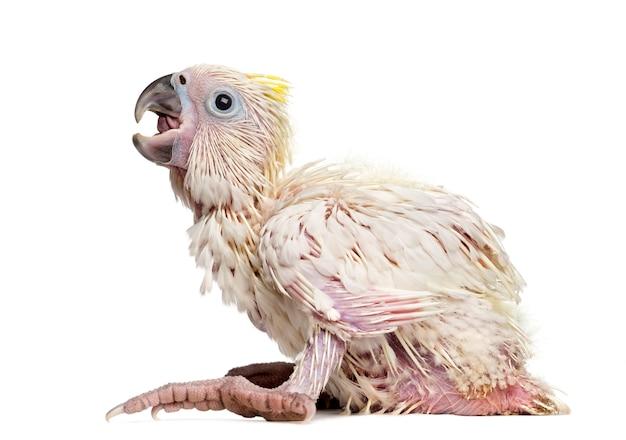 유황-볏이있는 앵무새, cacatua galerita, 35 일 된 흰색 공간