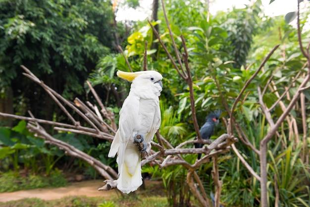 Sulphur-crested cockatoo (cacatua galerita) and palm cockatoo (probosciger aterrimus)