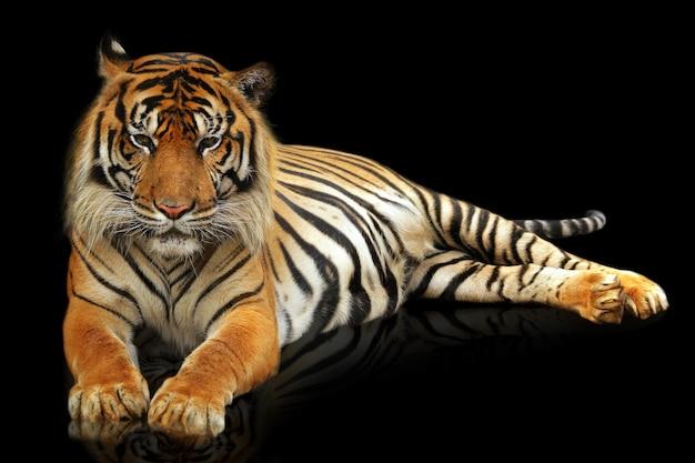 Суматерский тигр на черном фоне