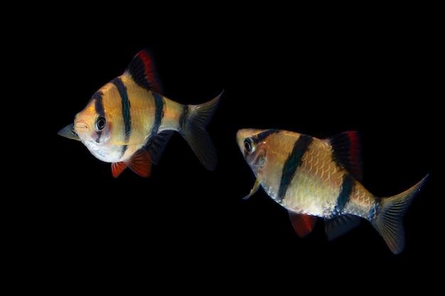 검은 배경에 수마트라 미늘 물고기