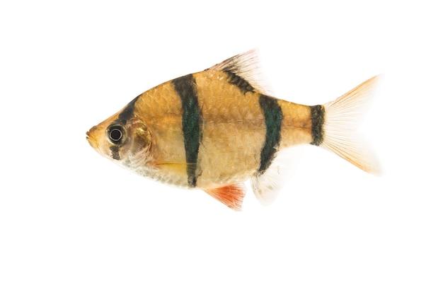 흰색 바탕에 수마트라 미늘 물고기