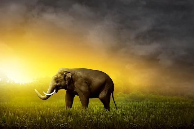 Sumatran elephant walking on the field
