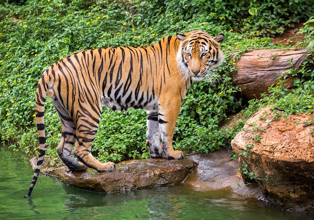 Sumatran tiger standing in the natural atmosphere of the zoo.