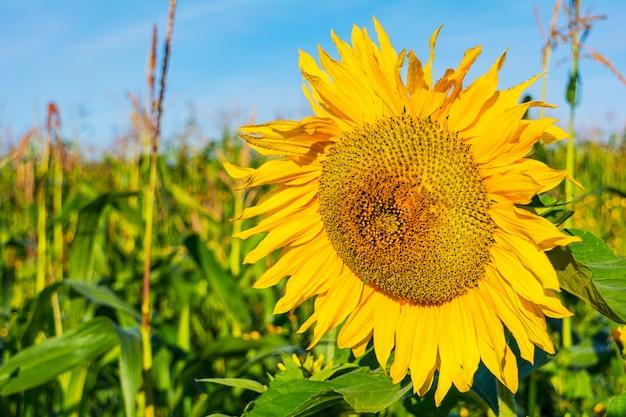 Летнее сельскохозяйственное поле с желтым подсолнухом