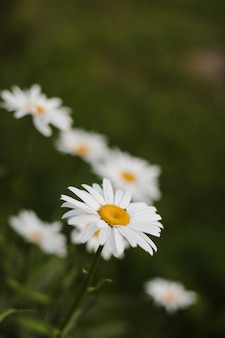 Летний фон из цветов ромашки на зеленом фоне травы