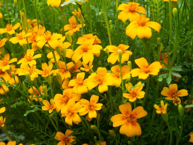 Summer background, beautiful growing yellow flowers in the garden