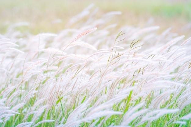 Летний фон, сухой цветок, дующий на ветру, красный тростник, качающийся на ветру