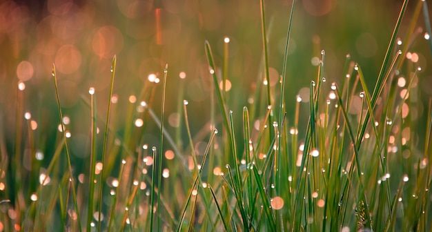 Summer background, green grass with dew drops illuminated by the sun