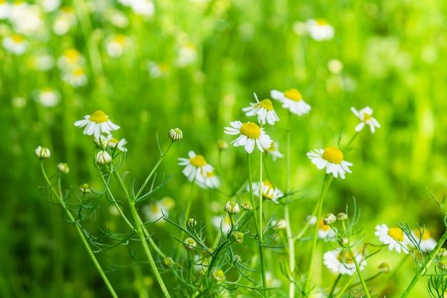 カモミールの花の薬用植物の夏の背景