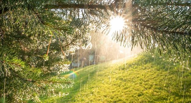 여름 배경입니다. 햇빛에 비춰진 소나무 가지에 빗방울이나 이슬.