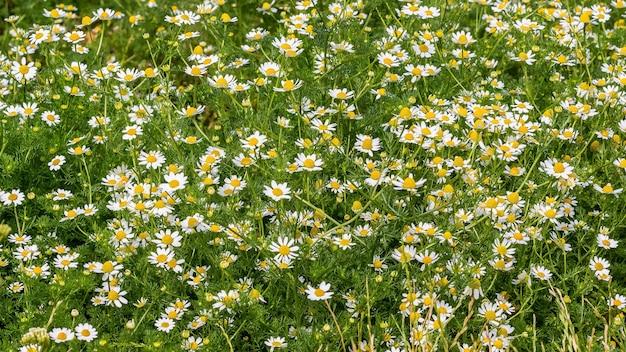 夏の背景、白いヒナギクの質感。夏の花のじゅうたん
