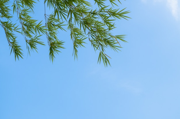 Summer background with bamboo leaves and blue sky background