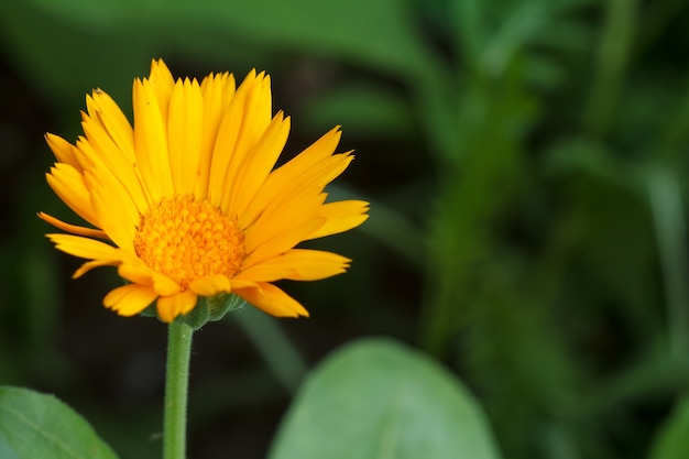 Summer background with marigold flower in sunlight. blooming calendula in summertime with green natural background. shallow depth of field.