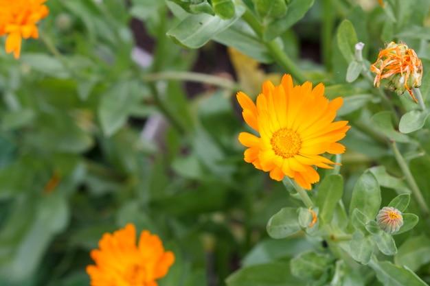 햇빛에 금잔화 꽃과 여름 배경입니다. 녹색 자연 배경으로 여름에 피는 금송화.