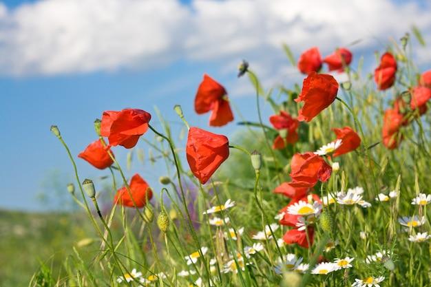 Летний красивый красный мак и белые цветы ромашки на голубом небе с облаком