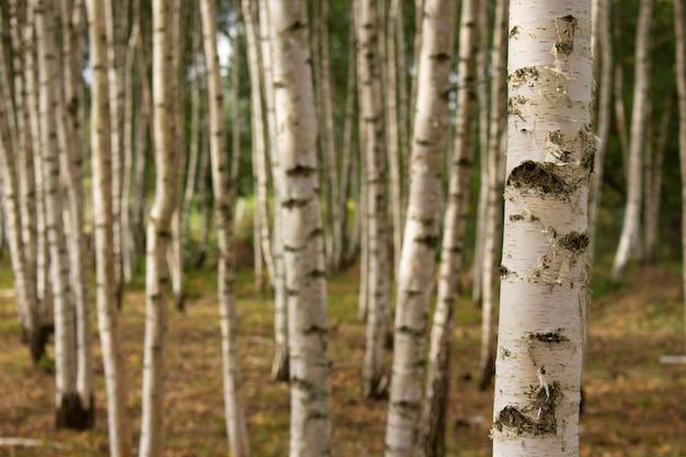 여름 자작나무 숲을 닫습니다. 자연 배경입니다.
