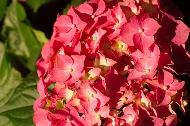 여름 꽃이 만발한 섬세한 수국 피는 꽃과 꽃잎 축제 배경