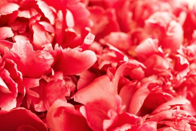 牡丹の咲く繊細な花びら、赤い咲く牡丹の花