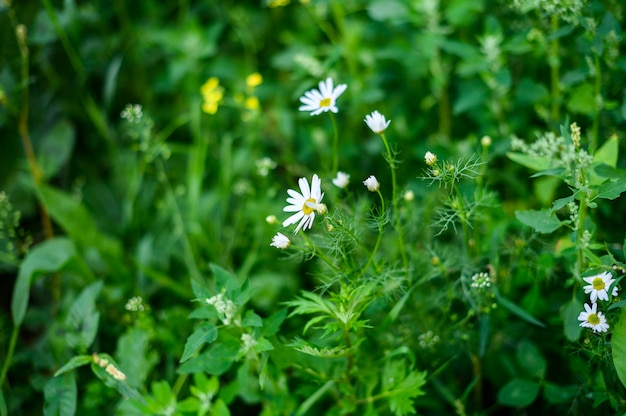 Summer bright landscape with beautiful wild flowers camomiles, daisy flower.