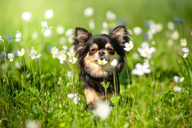 Summer. a chihuahua dog in a sunny clearing