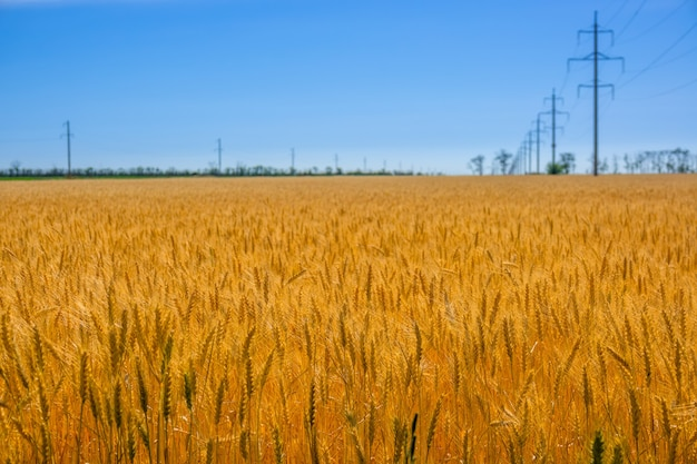 Летом. безоблачное голубое небо. поле золотой пшеницы и линия электропередачи