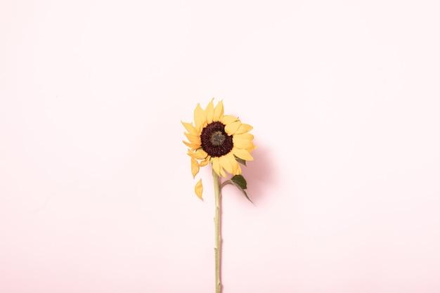 ひまわりと夏のコンセプト。ボーダー配置の背景。フラットレイ、上面図。ピンクの背景に黄色い花、平らな横たわっていた