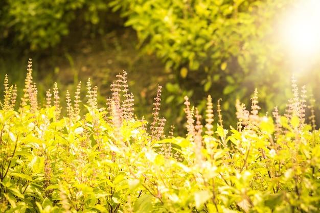 草原と太陽光線のある夏の田舎風景