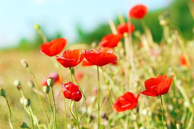 양귀비꽃이 만발한 초원의 여름날.