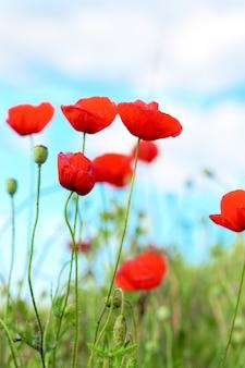 咲くポピーでいっぱいの牧草地の夏の日。