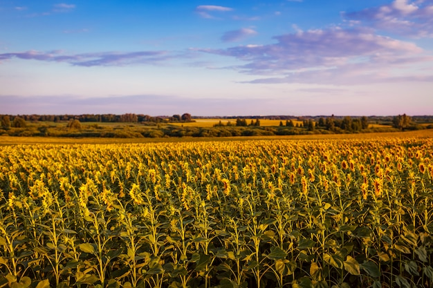 Summer field of blooming sunflowers at sunset with blue sky above