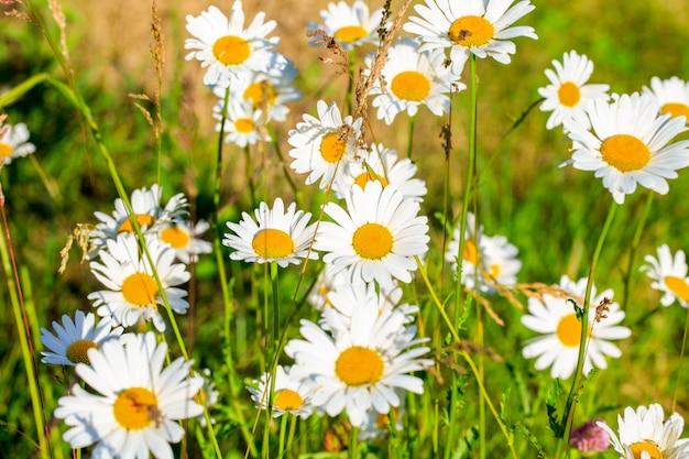 太陽の下で咲くヒナギクの夏の畑