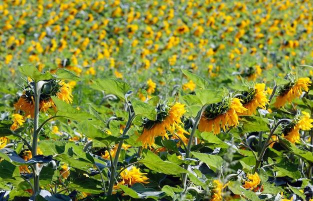 노란 해바라기의 여름 필드
