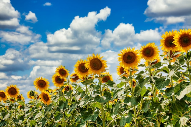 Summer field of sunflowers on a sunny day