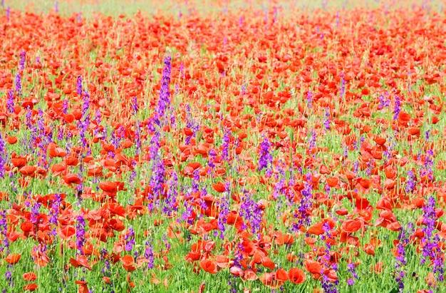 美しい赤いポピーと紫の花(自然の背景)と夏のフィールド。