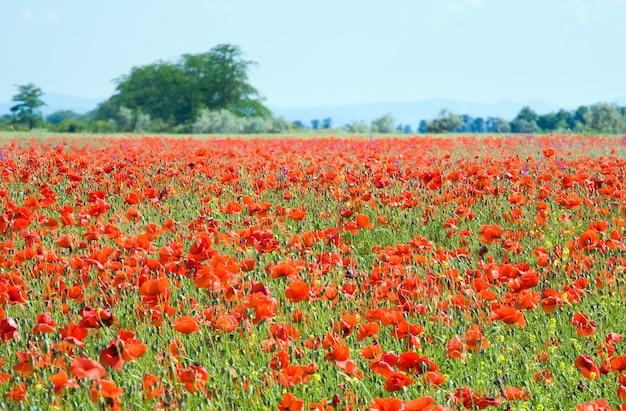 美しい赤いケシの花が咲く夏の野原。