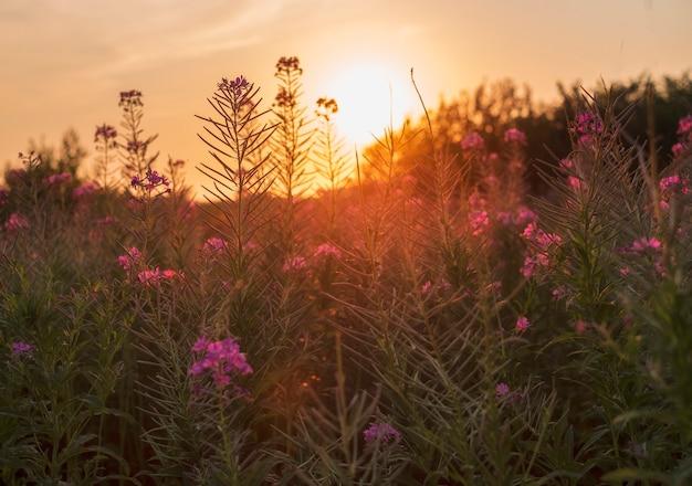 Летнее поле с цветами кипрея на закате