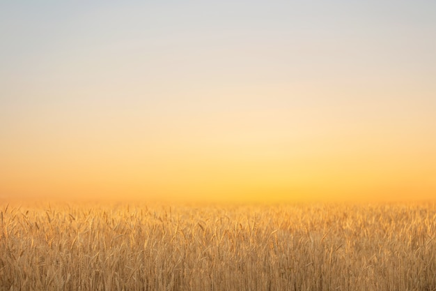 Summer field with ripe wheat on the background of the evening sky