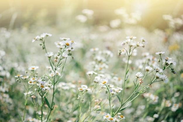 Летний цветочный фон с цветами диких ромашек на закате луга, поле цветов диких ромашек