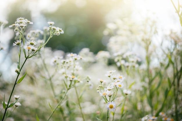 일몰 초원에 야생 카모마일 꽃이 있는 여름 꽃 배경, 야생 카모마일 꽃밭
