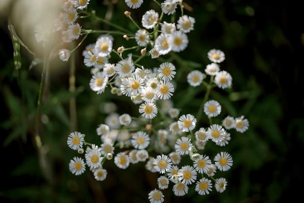 짙은 녹색 배경에 야생 카모마일 꽃이 클로즈업된 여름 꽃 배경