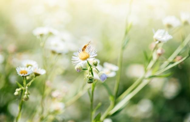 녹색 흐릿한 배경에 야생 데이지 꽃과 딱정벌레, 야생 카모마일 꽃이 클로즈업된 여름 꽃 배경