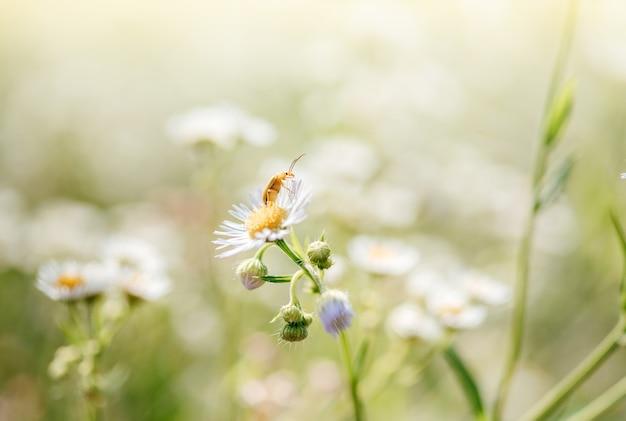 Летний цветочный фон с цветами диких ромашек и жуком, крупным планом цветы дикие ромашки на зеленом размытом фоне