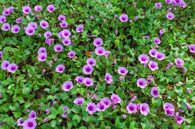 Summer flower background ,beautiful purple flower ,ipomoea flowers on the beach in phuket thailand