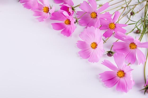 夏の花。白い背景の上の繊細なコスモスピンクの花