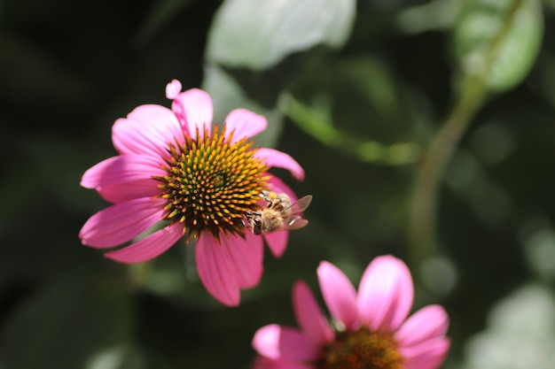 Summer flowers on a sunny day flowers closeup with a wasp pink petals and orange center