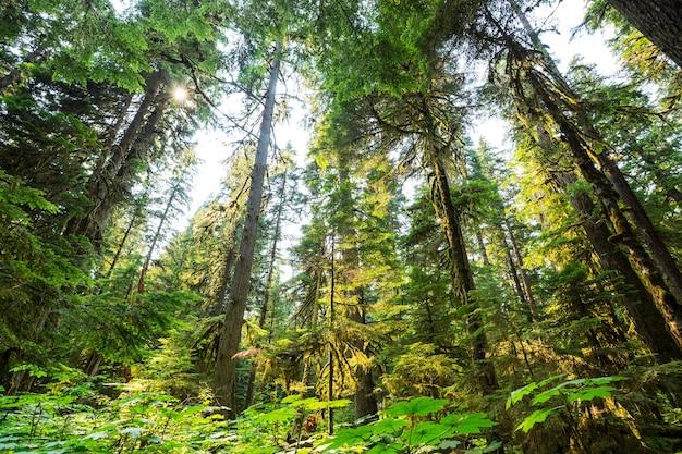 Летний лес во время восхода солнца.