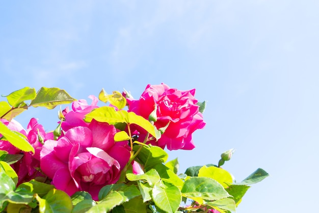 Summer garden with pink roses over blue sky