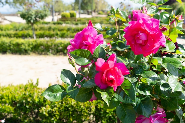 Summer garden with pink roses on the bush