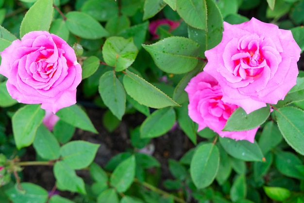Summer garden with pink roses and green leaves