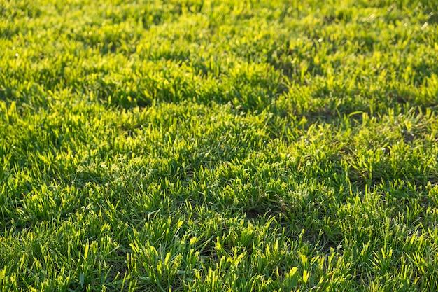 여름 녹색 잔디 배경입니다. 공간 복사